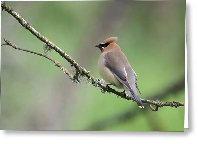 Cedar Waxwing Greeting Card by Angie Vogel