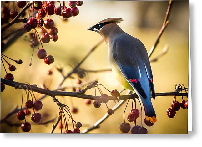 Cedar Waxwing Greeting Card by Bob Orsillo