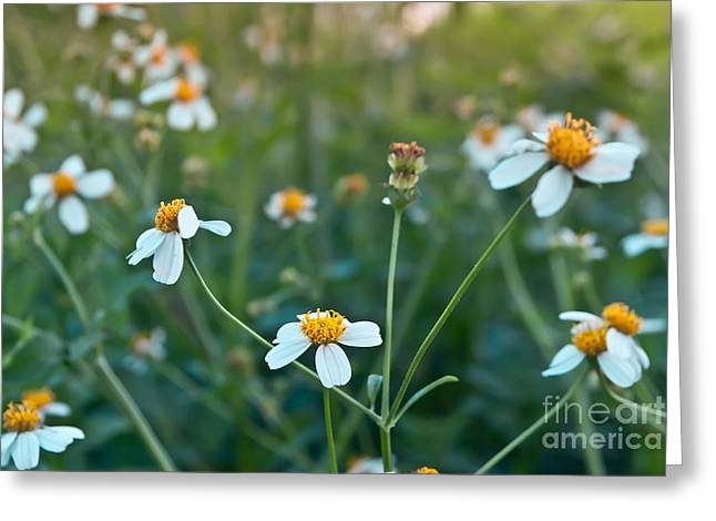 Factions Greeting Cards - Chamomiles In The Nature Greeting Card by Rakop Tanyakam
