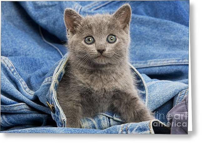 Gray Hair Greeting Cards - Chartreux Kitten Greeting Card by Jean-Michel Labat