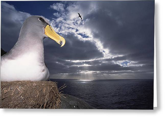 Chatham Greeting Cards - Chatham Albatrosses Nesting On A Cliff Greeting Card by Tui De Roy