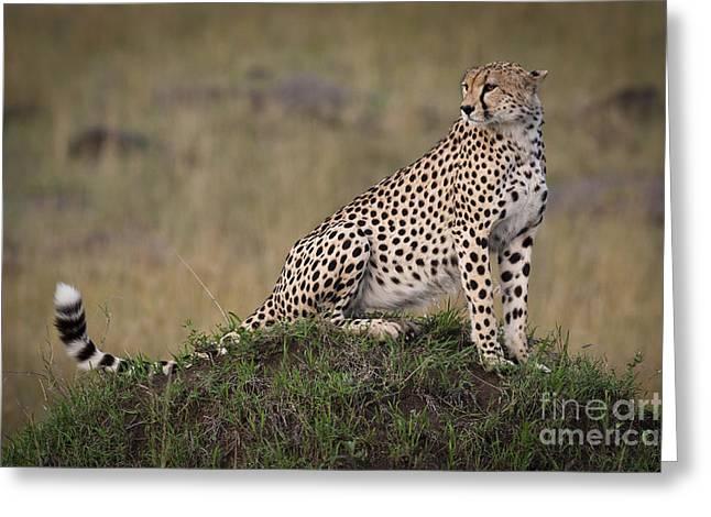 Mound Greeting Cards - Cheetah On Termite Mound Greeting Card by John Shaw