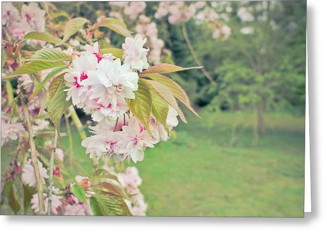 Muted Greeting Cards - Cherry Blossom Greeting Card by Tom Gowanlock