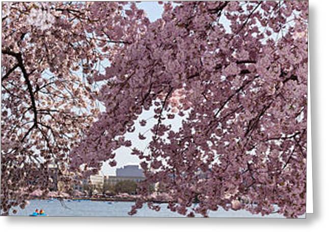 In-city Greeting Cards - Cherry Blossom Trees In Bloom Greeting Card by Panoramic Images