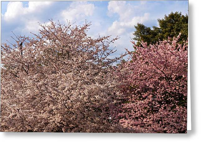 In-city Greeting Cards - Cherry Blossom Trees In Full Bloom Greeting Card by Panoramic Images