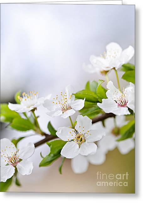 Orchard Greeting Cards - Cherry blossoms Greeting Card by Elena Elisseeva