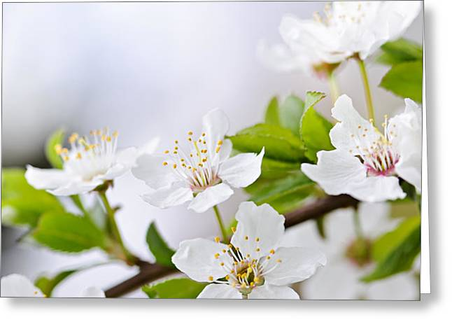 Cherry blossoms Greeting Card by Elena Elisseeva