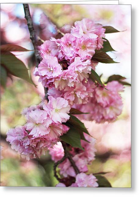 Pink Flower Branch Greeting Cards - Cherry Blossoms Greeting Card by Jessica Jenney