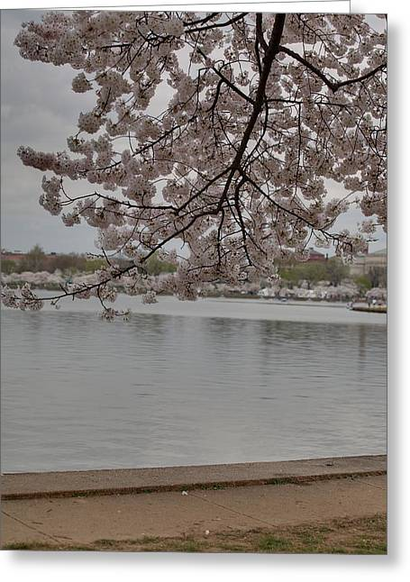 White Photographs Greeting Cards - Cherry Blossoms - Washington DC - 011336 Greeting Card by DC Photographer