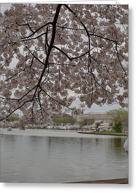 Trunk Greeting Cards - Cherry Blossoms - Washington DC - 011337 Greeting Card by DC Photographer