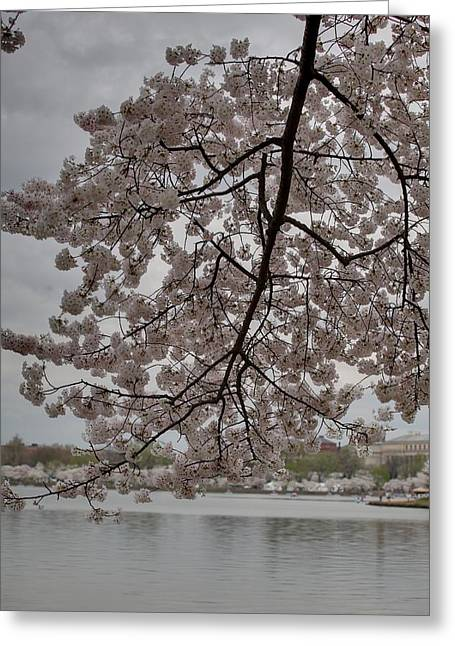 Japanese Greeting Cards - Cherry Blossoms - Washington DC - 011338 Greeting Card by DC Photographer