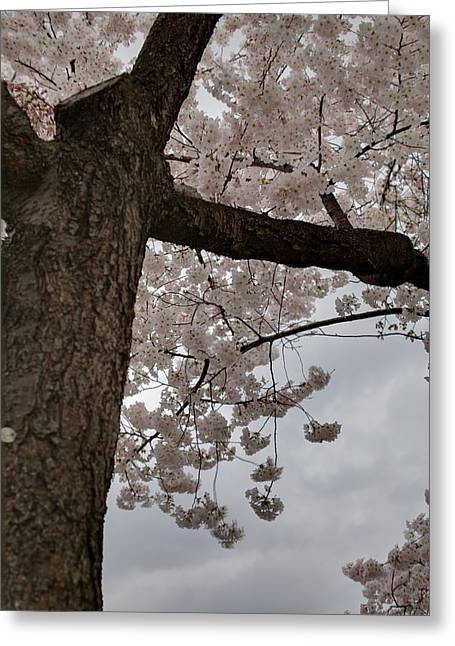 Memorials Greeting Cards - Cherry Blossoms - Washington DC - 011340 Greeting Card by DC Photographer