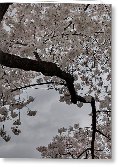 Trunk Greeting Cards - Cherry Blossoms - Washington DC - 011341 Greeting Card by DC Photographer