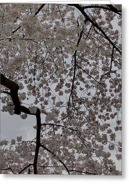 Cherry Blossoms - Washington Dc - 011342 Greeting Card by DC Photographer