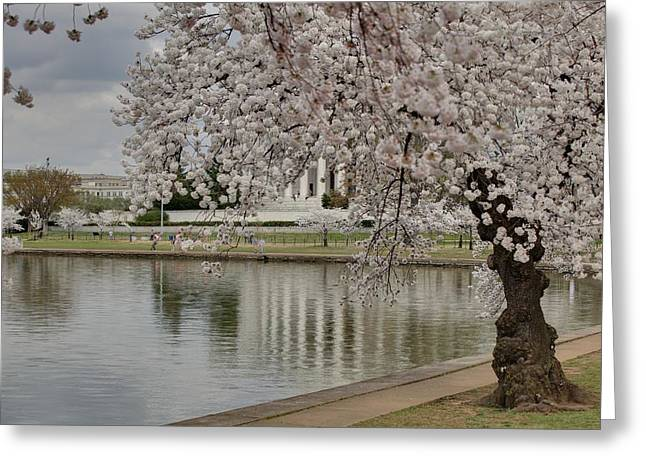 Memorials Greeting Cards - Cherry Blossoms with Jefferson Memorial - Washington DC - 01135 Greeting Card by DC Photographer