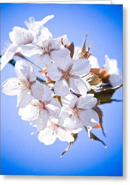 Close Focus Nature Scene Greeting Cards - Cherry tree Blossoms Close up Greeting Card by Raimond Klavins