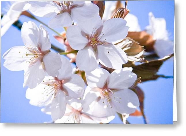 Cherry tree Blossoms Close up Greeting Card by Raimond Klavins