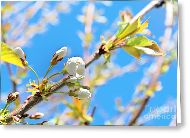 Close Focus Nature Scene Greeting Cards - Cherry tree flower Greeting Card by Gregory DUBUS