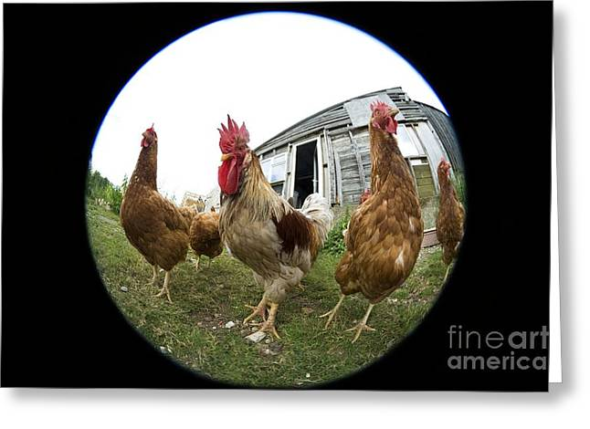 Free Range Hens Greeting Cards - Chickens Greeting Card by Georgette Douwma