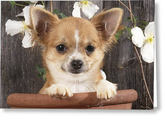 Toy Dog Greeting Cards - Chihuahua Dog In Flowerpot Greeting Card by John Daniels