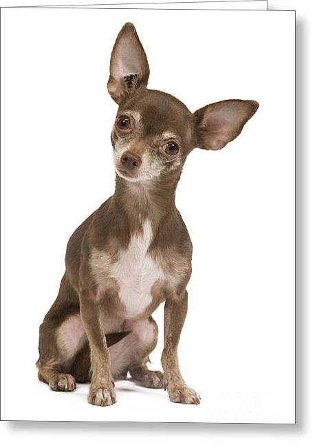 Head Tilt Greeting Cards - Chihuahua Dog Greeting Card by Jean-Michel Labat