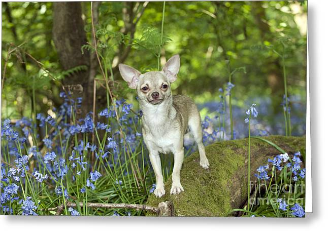 Short Hair Chihuahua Greeting Cards - Chihuahua In Bluebells Greeting Card by John Daniels