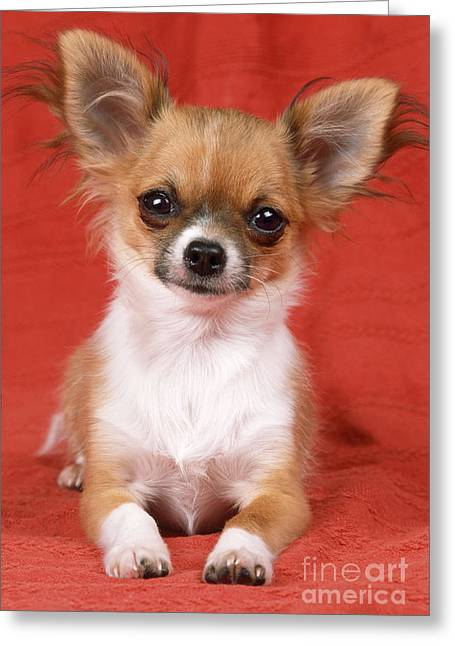 Toy Dog Greeting Cards - Chihuahua Greeting Card by John Daniels