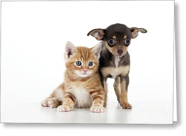 Short Hair Chihuahua Greeting Cards - Chihuahua Puppy And Kitten Greeting Card by John Daniels