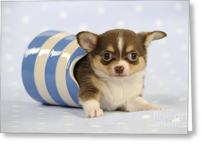 Toy Dog Greeting Cards - Chihuahua Puppy Dog Greeting Card by John Daniels
