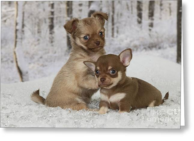 Dog In Snow Greeting Cards - Chihuahua Puppy Dogs Greeting Card by John Daniels