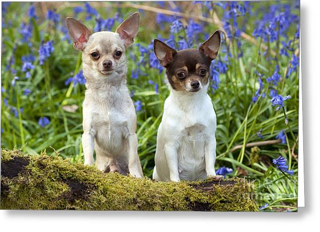 Short Hair Chihuahua Greeting Cards - Chihuahuas In Bluebells Greeting Card by John Daniels