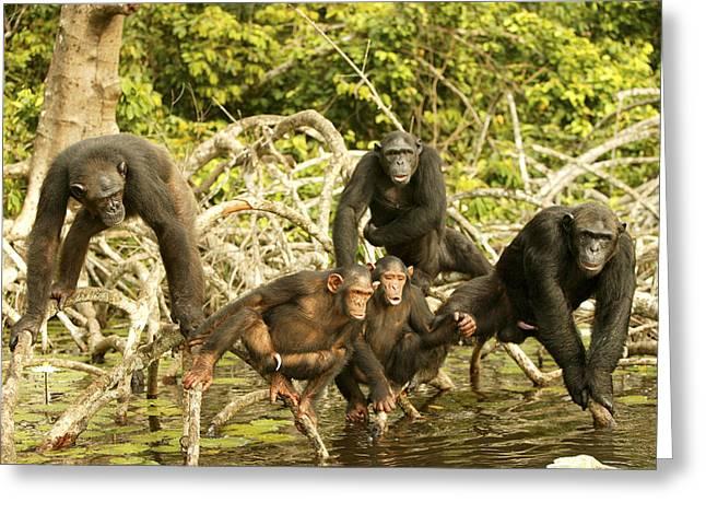 Chimpanzees On Mangroves Greeting Card by Jean-Michel Labat