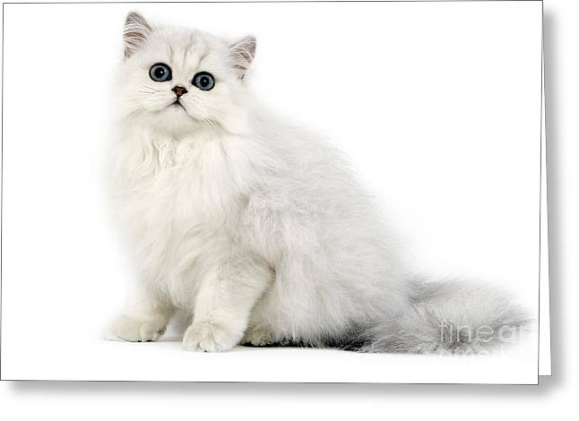 Breeds Greeting Cards - Chinchilla Persian Kitten Greeting Card by Jean-Michel Labat
