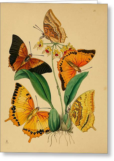 Office Plants Drawings Greeting Cards - Chinese Butterflies 1847 Greeting Card by Philip Ralley