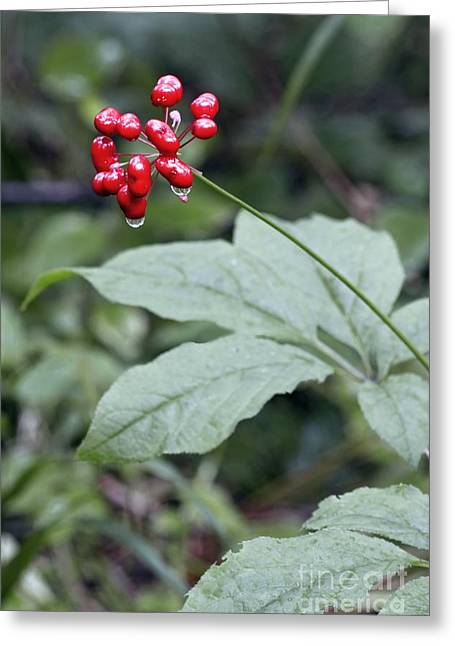 Aphrodisiac Greeting Cards - Chinese Ginseng Panax Ginseng Greeting Card by Dr. Nick Kurzenko