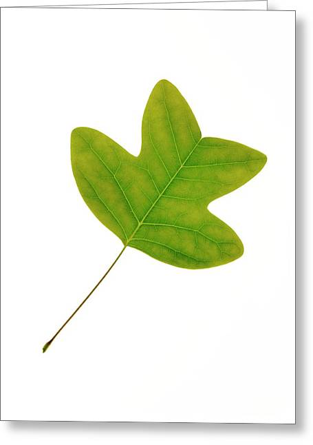 Chinese Tulip Tree Leaf Greeting Card by Cordelia Molloy
