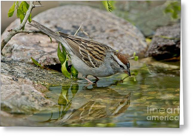 Sparrow Greeting Cards - Chipping Sparrow Greeting Card by Anthony Mercieca