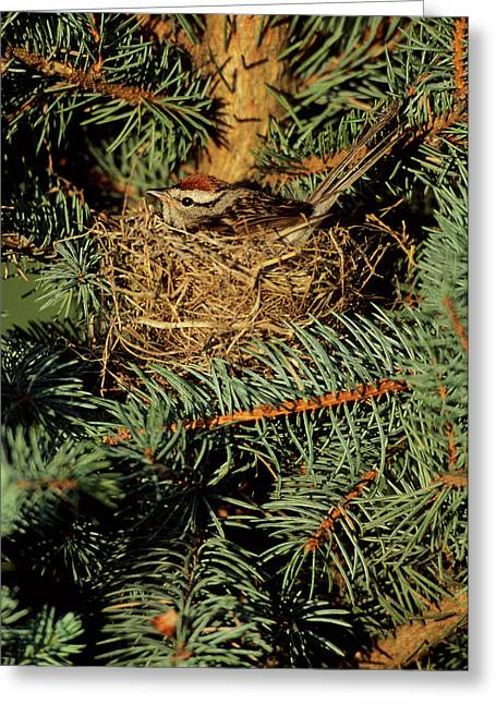 Chipping Sparrow (spizella Passerina Greeting Card by Richard and Susan Day