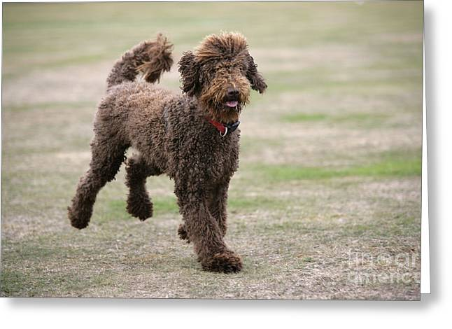Labradoodle Greeting Cards - Chocolate Labradoodle Running In Field Greeting Card by John Daniels