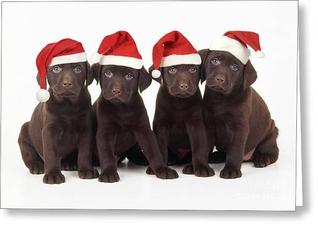 Chocolate Lab Greeting Cards - Chocolate Labrador Puppies Greeting Card by John Daniels