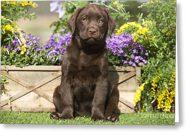 Young Labrador Retrievers Greeting Cards - Chocolate Labrador Puppy Greeting Card by Jean-Michel Labat