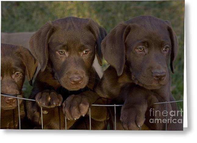Chocolate Lab Greeting Cards - Chocolate Labrador Retriever Pups Greeting Card by Linda Freshwaters Arndt