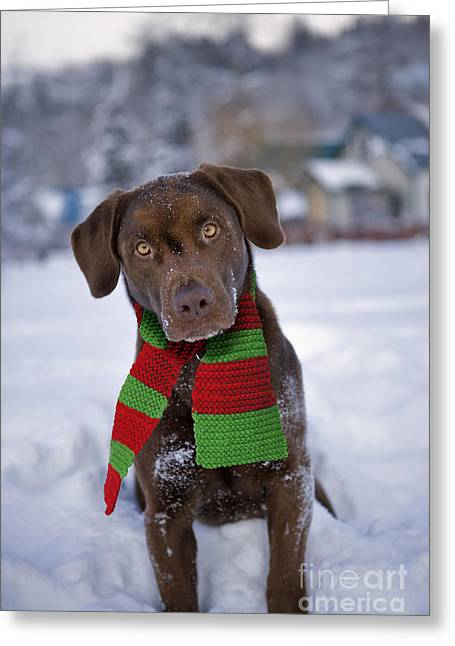Dog In Snow Greeting Cards - Chocolate Labrador Retriever Greeting Card by Rolf Kopfle