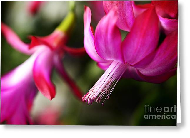 Epiphytic Greeting Cards - Christmas Cactus in Bloom Greeting Card by Thomas R Fletcher