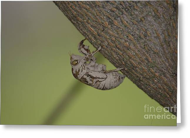 High Virginia Images Greeting Cards - Cicada Greeting Card by Randy Bodkins