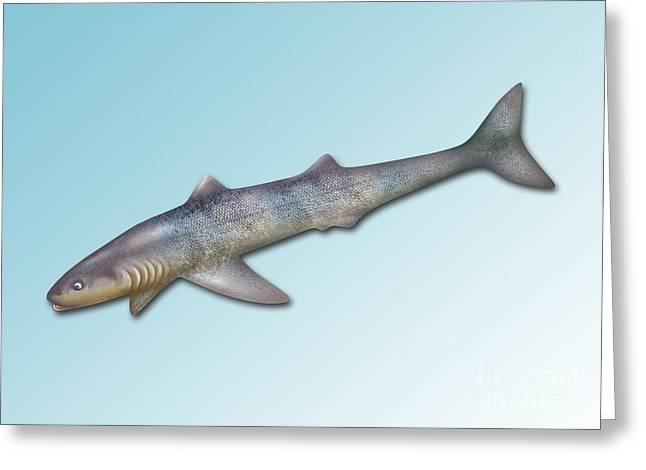Shark Fossil Art Greeting Cards - Cladoselache, Extinct Shark Greeting Card by Gwen Shockey