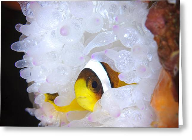 Clarks Anemonefish In White Anemone Greeting Card by Steve Jones