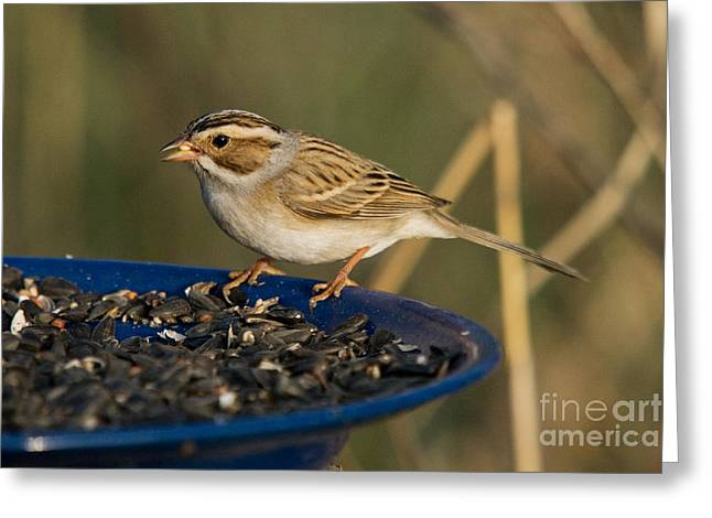 Sparrow Greeting Cards - Clay-colored Sparrow Greeting Card by Linda Freshwaters Arndt