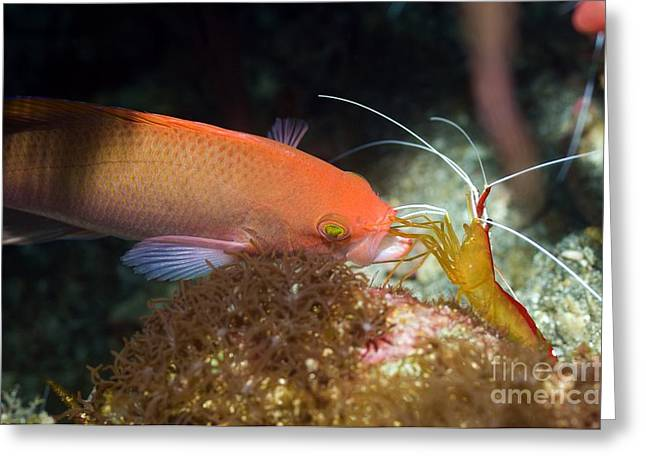 Commensal Shrimp Greeting Cards - Cleaner Shrimp Cleaning An Anthia Greeting Card by Georgette Douwma