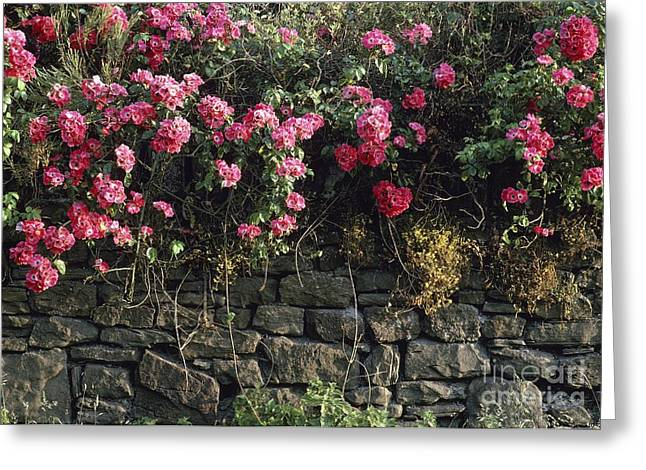 Rosa Sp. Greeting Cards - Climbing Rose Rosa Sp Greeting Card by Vaughan Fleming